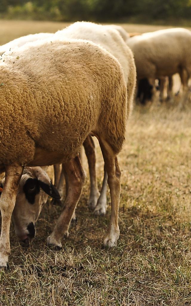 Moutons 759©otvd Cochise Ory